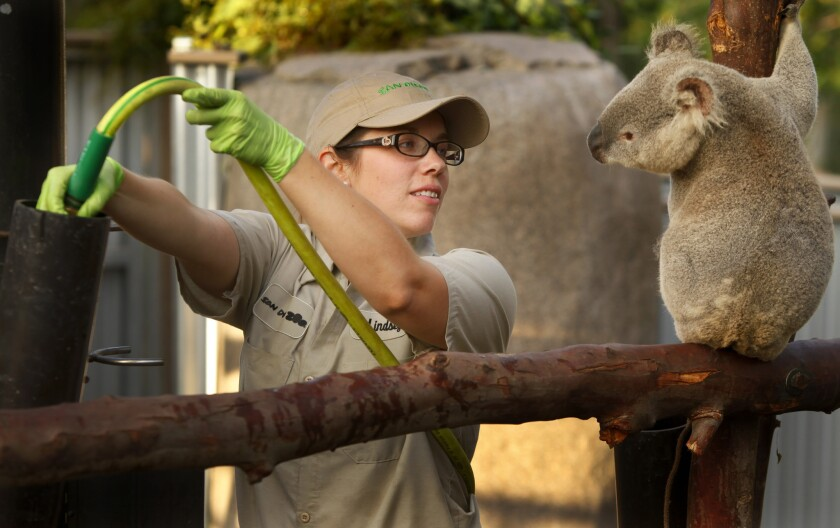 At the San Diego Zoo's Australian Outback exhibit, koala keeper Lindsay King fills water containers and provides eucalyptus.