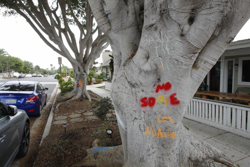 Four ficus trees in downtown Encinitas will undergo extensive pruning, rather than being removed, the City Council decided this week.