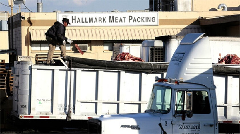 "Information received by the federal agency shows that Hallmark/Westland Meat Packing Co. ""did not consistently contact the FSIS public health veterinarian"" as required when cattle became non-ambulatory after being inspected, the release said."