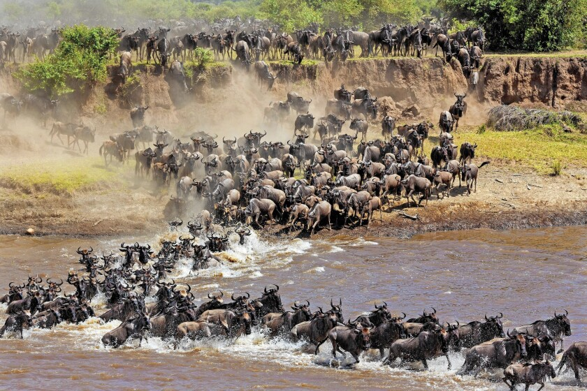 Wildebeests cross a river during the annual great migration in the Serengeti.