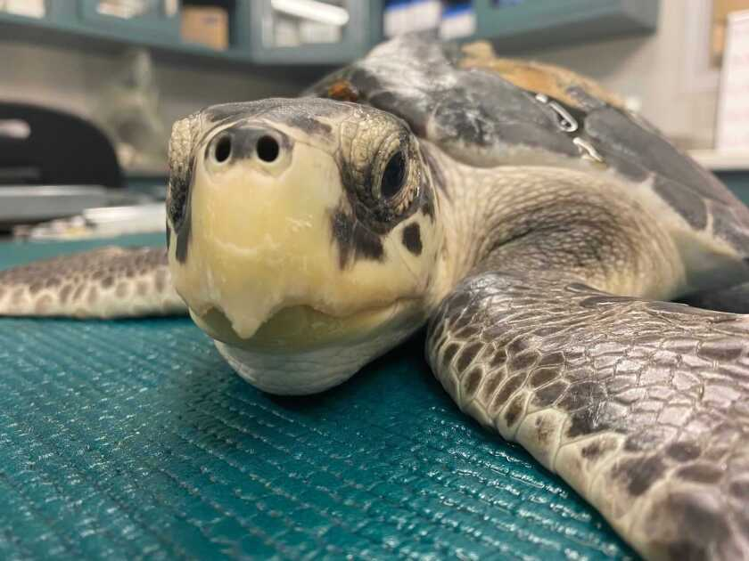 This photo provided by the Audubon Nature Institute, taken the week of June 13, 2021, shows an endangered Kemp's ridley sea turtle that came to Audubon with a frostbitten shell and pneumonia after being cold-stunned and rescued from frigid New England waters. The frostbitten area on its shell, where bone must regrow before the turtle can be released, is visible above its left shoulder. It is among 75 turtles brought to New Orleans and Gulfport, Mississippi, after washing up in New England, injured and sick from the cold.