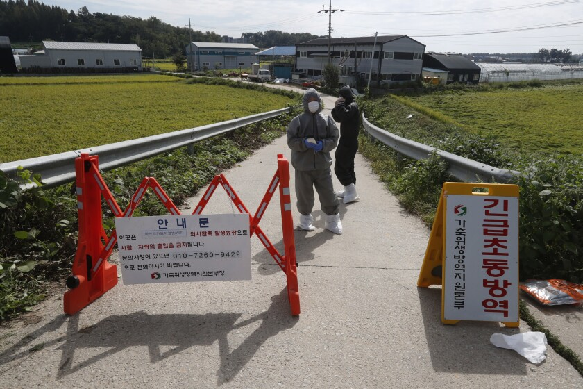 """Quarantine officials wearing protective gear stand as a precaution against African swine fever at a pig farm in Paju, South Korea, Tuesday, Sept. 17, 2019. South Korea is culling thousands of pigs after confirming African swine fever at a farm near its border with North Korea, which had an outbreak in May. The notice reads: """"Under quarantine."""" (AP Photo/Ahn Young-joon)"""