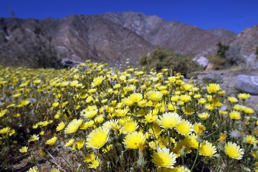 Desert dandelions, above, sand-verbena and desert sunflowers are some of the most common flowers that could appear in Anza-Borrego Desert State Park.