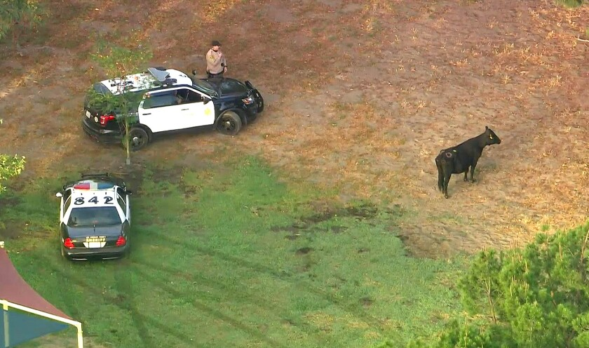 Two law enforcement vehicles and a cow in a park