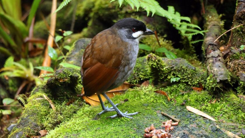 This extremely rare, ground-dwelling Jocotoco Antpitta was thought to be extinct, and its discovery