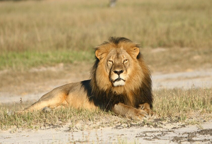 In this undated photo provided by the Wildlife Conservation Research Unit, Cecil the lion rests in Hwange National Park, in Hwange, Zimbabwe. Two Zimbabweans arrested for illegally hunting a lion appeared in court Wednesday, July 29, 2015. The head of Zimbabwe's safari association said the killing