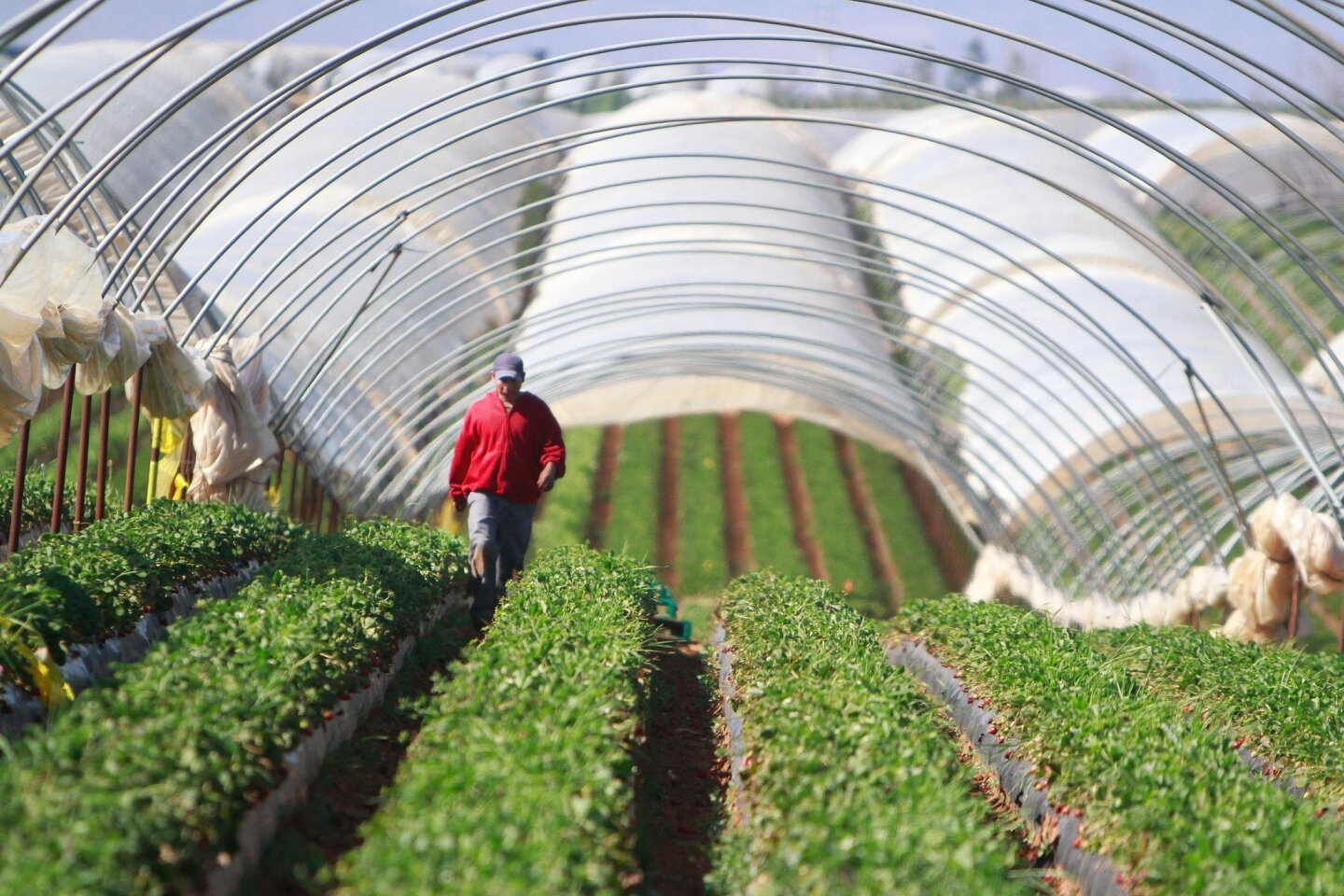 Farm workers headed for the strawberry fields early Friday as negotiations for higher wages continued in San Quintin.