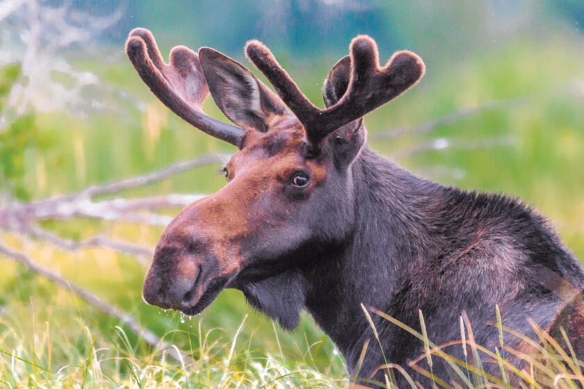 Why is the plural of moose 'moose' and not mooses or meese?