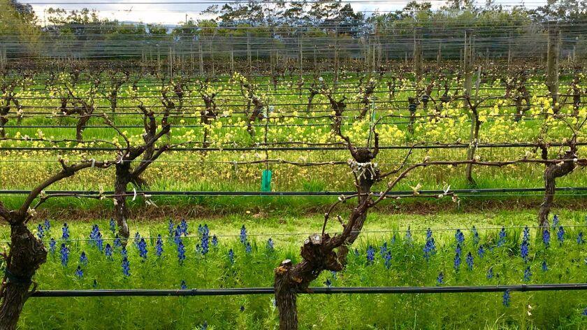 Vineyards at Ata Rangi in the Martinborough region of New Zealand.