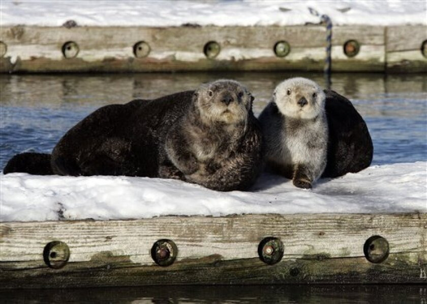 In this Feb. 7, 2008 file photo, a couple of sea otters sit on a float in the Cordova, Alaska boat harbor. A federal agency is proposing habitat protection for Alaska sea otters in the Aleutian Islands, where numbers have dwindled by more than half in 20 years. (AP Photo/Al Grillo, File)