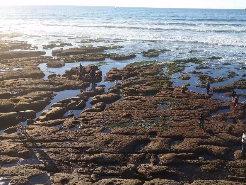 Families explore the marine life at low tide along the La Jolla coast, Sunday afternoon, Jan. 29, 2017.