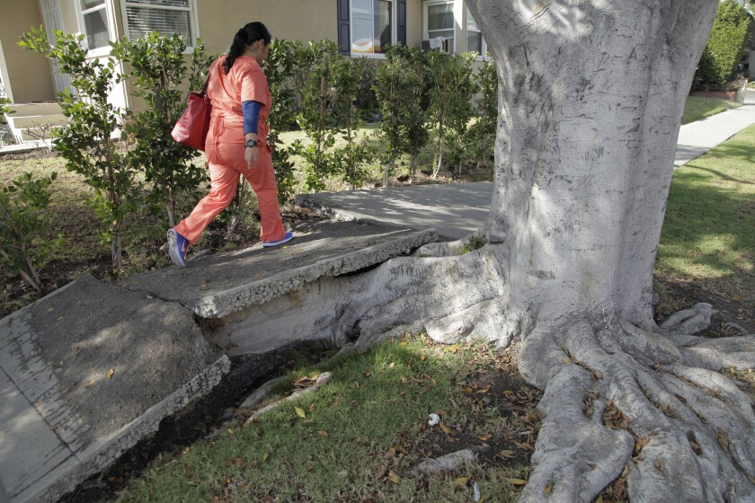 A woman walks over a damaged sidewalk in the 2400 block of Prosser Avenue in the Rancho Park area of Los Angeles.