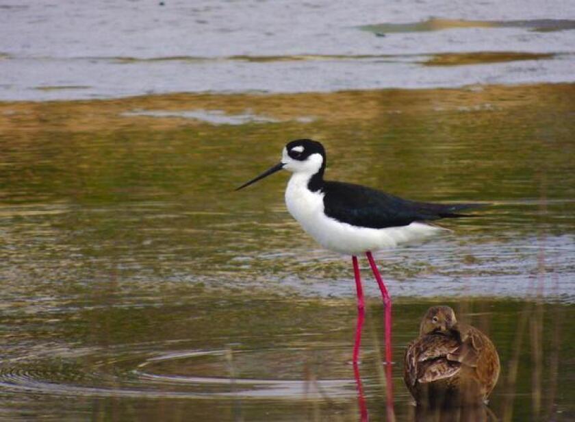 Shorebirds of San Diego Tours — San Elijo Lagoon Conservancy will present a habitat exploration, 8-10 a.m. Saturday, Feb. 23, 2019 at Smiley Lagoon in Ocean Beach.