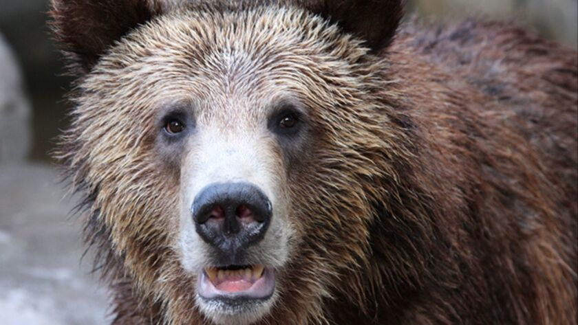 Earth Talk:Do environmentalists consider taking Yellowstone's grizzly bear off the Endangered Species List good news or bad news?