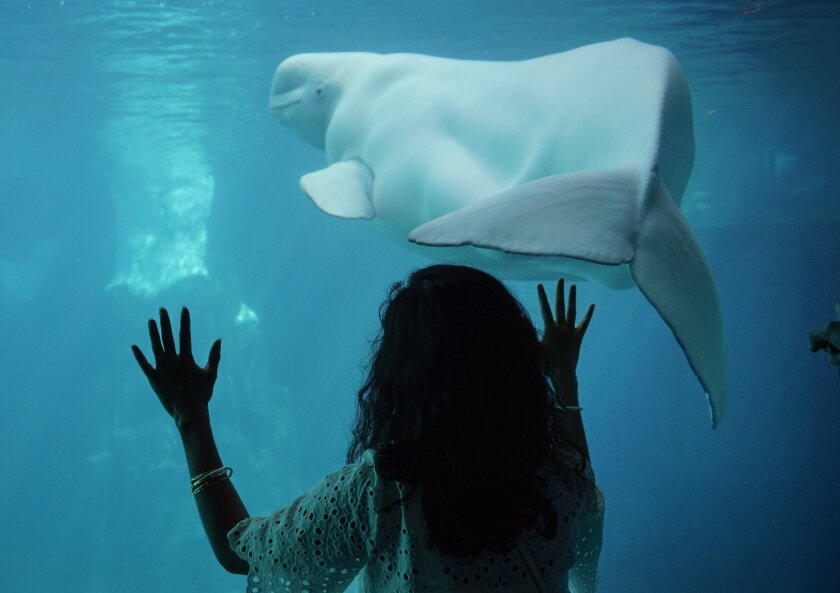 A girl at SeaWorld stands with her hands on the glass, looking at a beluga whale.