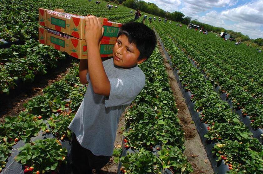 Un niño trabaja recolectando fresas en una plantación...