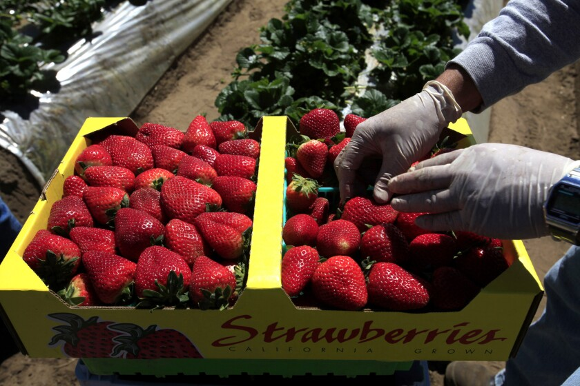 The University of California maintains a living museum of 1,600 strawberry types sustained over decades of careful reproduction, plantings and refrigeration at UC's farm properties in Davis, Watsonville and Irvine.