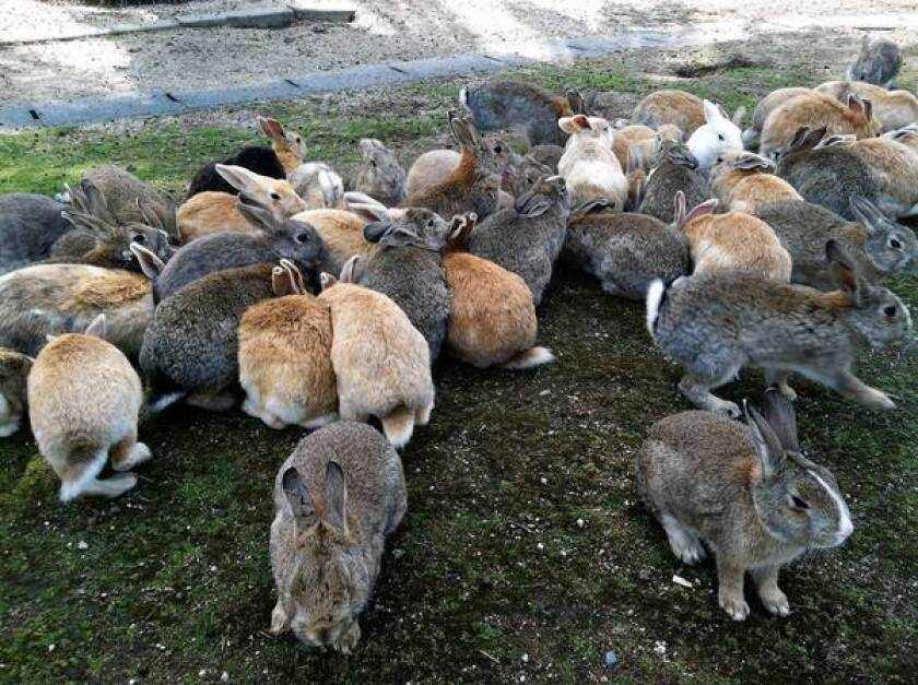 A grim military past on Japan's cuddly 'Rabbit Island'