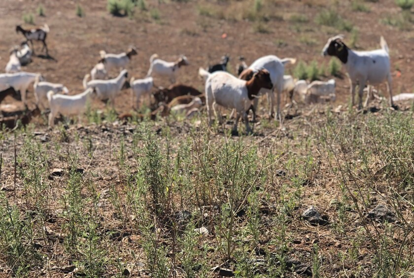 Goats clearing hills at One Oak-cropped.jpg