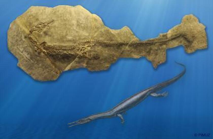 Askeptosaurus, large marine apex predator