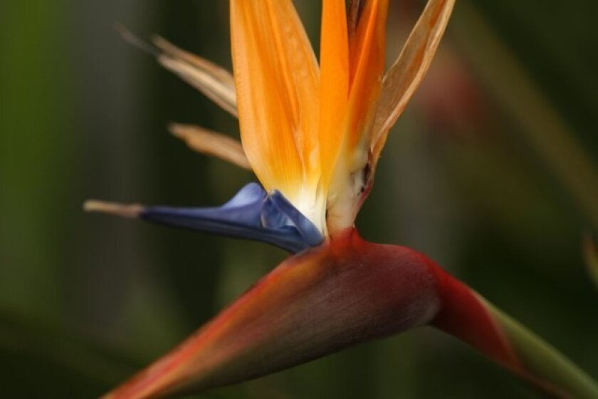 The spectacular bird of paradise flower, with blue petals and orange sepals held up on the beak-like modified leaf. Jeremy W. Smith Photos