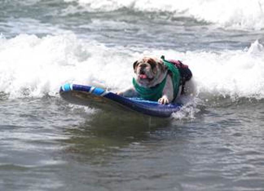A canine contestant in Helen Woodward Animal Center's Surf Dog Surf-a-Thon at Del Mar Dog Beach. The annual surf-a-thon is slated for Sunday.