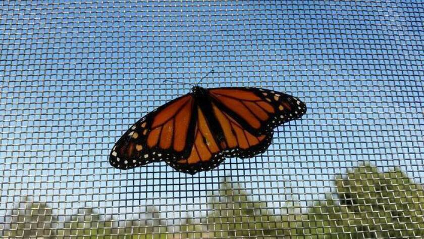 It's almost time for the Spring Garden and Butterfly Festival at Cuyamaca College. The 26th annual festival includes events at the adjacent Heritage of the Americas Museum and at The Water Conservation Garden, where butterflies like these are housed