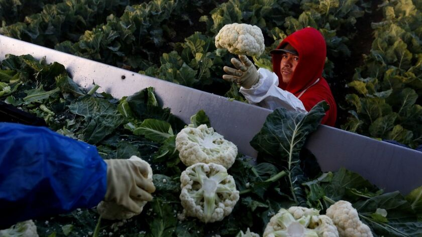 A farmworker contracted under the agricultural guest worker program picks cauliflower last year on a farm near Greenfield, Calif.
