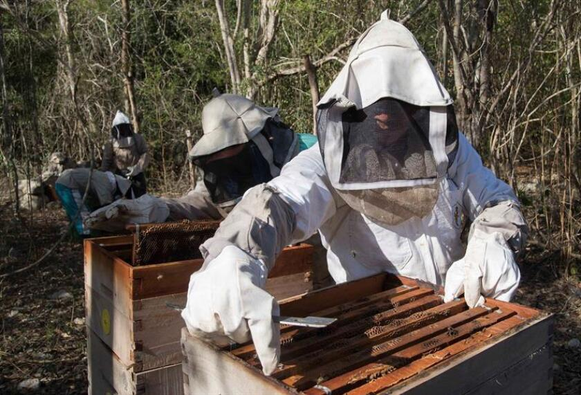 Photograph taken on Feb. 19, 2019, showing beekeepers working in the community of Sinache, in the state of Yucatan, Mexico. EPA-EFE / Cuauhtemoc Moreno