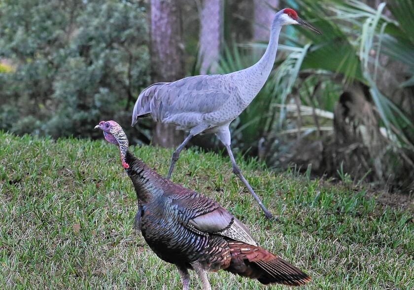 Florida's wild turkeys