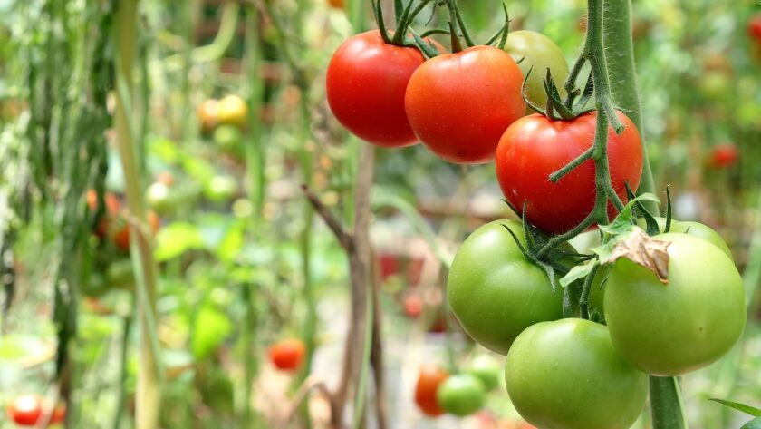 Juicy, flavorful tomatoes coming soon to a garden near you.