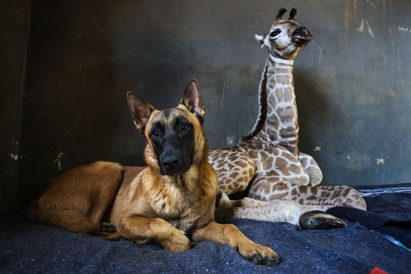 APTOPIX South Africa Orphan Giraffe