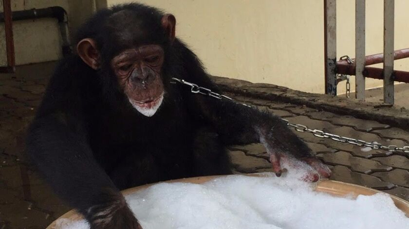 Leila, the rescued chimpanzee in a temporary safe house in the Angolan capital, Luanda. She gets ple
