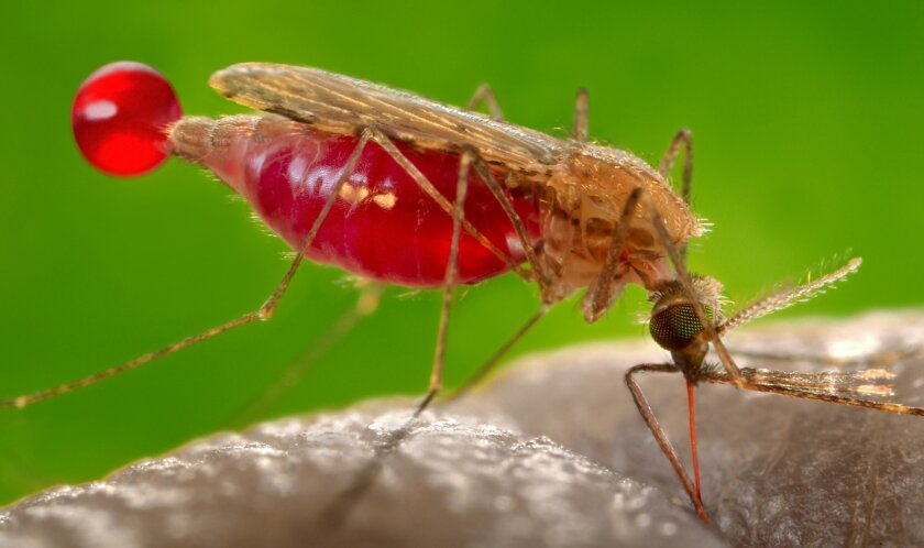 Feeding female Anopheles gambiae mosquito, a known carrier of malaria. This specimen had landed a human skin surface, and was in the process of obtaining its blood meal through its sharp, needle-like proboscis, which it had inserted into its human host. Note the red color of the proboscis, as it wa