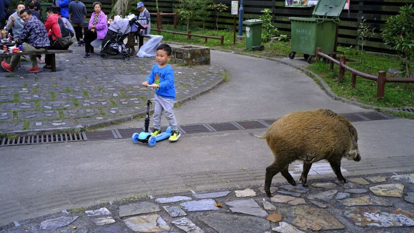 In this Jan. 13, 2019, photo, a wild boar scavenges for food while local residents watch at a Countr