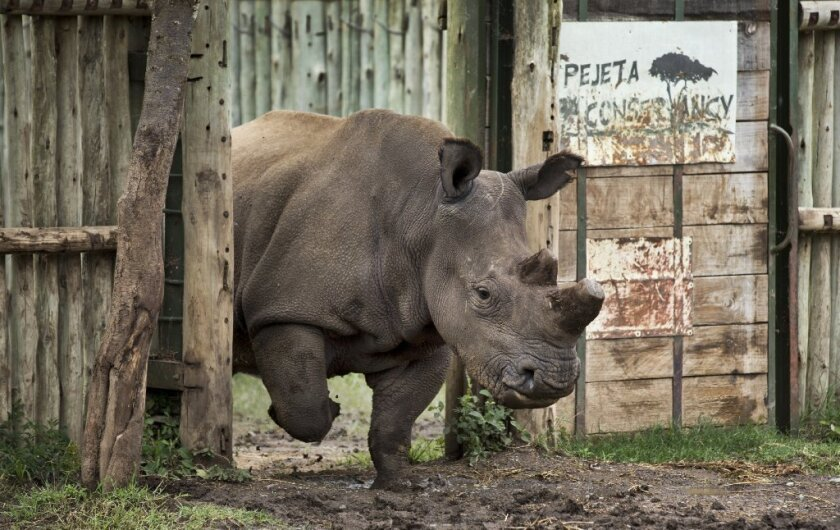 A northern white rhino leaves her pen to graze in the Ol Pejeta Conservancy in Kenya. She is one of about half a dozen of her kind left in the world, and all live in zoos or on protected lands. The species is doomed to extinction, and many others may follow, scientists warn in a new study.
