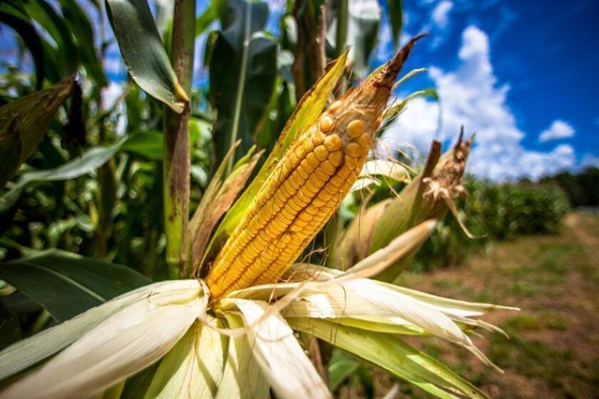 Un equipo de científicos ha identificado los orígenes de la domesticación del maíz, que se remontan hasta hace más de 6.500 años, según un estudio publicado hoy por la revista Science. EFE/Archivo