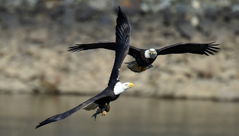 A pair of bald eagles vie for a fish during Eagle Day at Conowingo Dam.