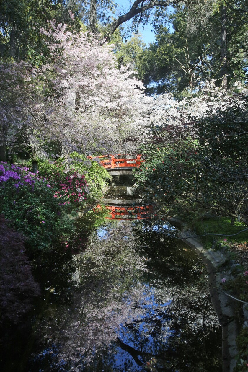 Beni hoshi and Akebono cherry blossoms at Descanso Gardens on March 25. The blossoms will be featured on one of the virtual tours of the gardens that have proven to be very popular during Descanso's closure.