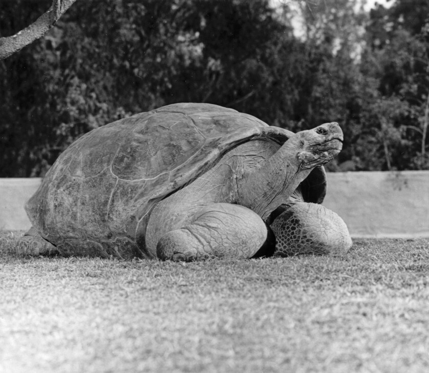 Speed, once an alpha male in the Galapagos tortoise colony at the San Diego Zoo, has died. He was estimated at more than 150 years old and had been at the zoo since 1933.