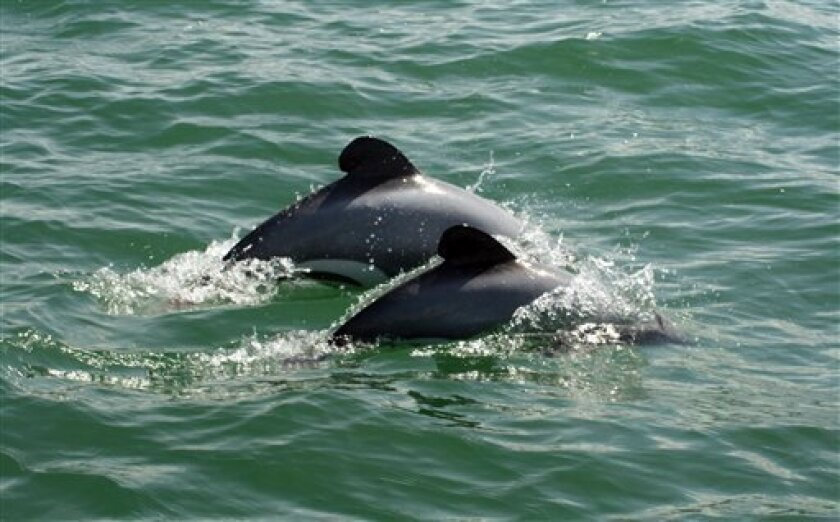 In this photo taken sometime between 2009 and 2010 and provided by New Zealand's Department of Conservation, an adult and juvenile Maui dolphins surface on the west coast off New Zealand's North Island between Kaipara harbour and New Plymouth. New Zealand announced plans Friday, Sept. 6, 2013, to restrict fishing in some regions to try to save the world's smallest and rarest dolphin from extinction. (AP Photo/Department of Conservation) EDITORIAL USE ONLY