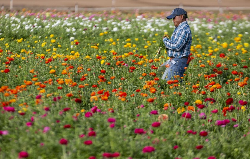 Martin Gonzalez harvests flowers in Carlsbad on Feb. 28, two weeks before the field was closed due to the coronavirus.