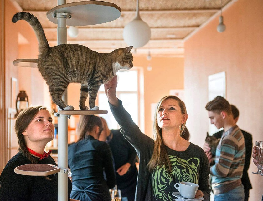 Cafes featuring felines have long been on the scene, but in more recent times they've sprung up in New York, Paris and, as seen above, in Vilnius, Lithuania.