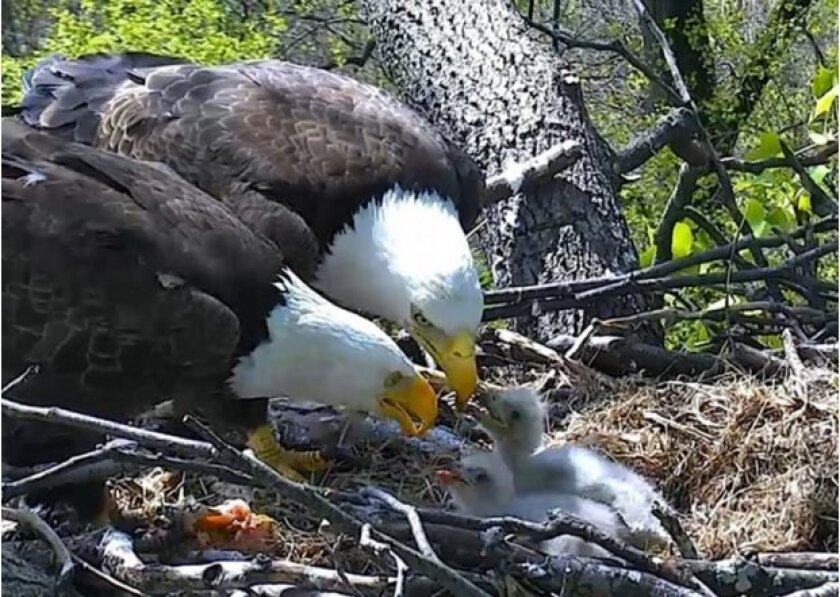 """""""DC2"""" and """"DC3,"""" the bald eaglets that recently hatched in a nest at the U.S. National Arboretum, are in need of two creative and symbolic names."""