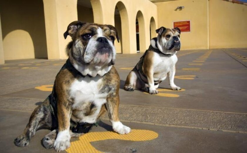 Pvt. Belleau Wood (left) will be the new jowly face of Marine Corps Recruit Depot in San Diego upon the retirement of Cpl. Molly as the boot camp's mascot, a tradition that goes back to 1939 with an English bulldog named James Jolly Plum Duff. The bulldogs prepared yesterday for today's change-of-command ceremony.