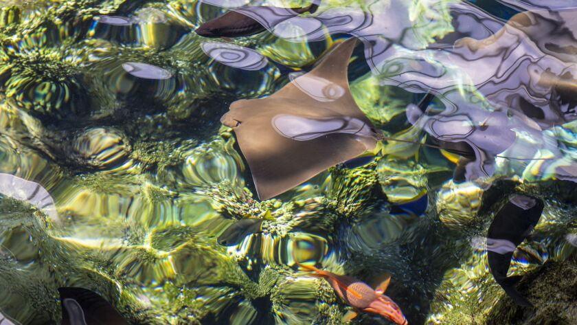 LONG BEACH, CA--JUNE 23, 2019--A cownose ray swims in a pool at the Aquarium of the Pacific, in Long