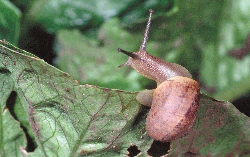 A brown garden snail on lettuce.