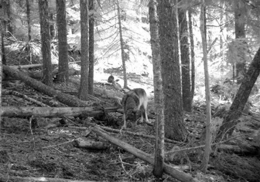 This Nov. 14, 2011 photo from a trail camera appears to show OR-7, the young male wolf that has wandered hundreds of miles across Oregon and Northern California looking for a mate and a new home. The Oregon Department of Fish and Wildlife says the photo likely shows OR-7, because a collar is visible on the neck, and GPS tracking data put him in the area where the camera was set on that date. Oregon's famous wandering wolf seems to be staying out of trouble after settling for now in the southern Cascades, but there are no signs he has found a mate yet. (AP Photo/Allen Daniels via The Medford Mail Tribune)