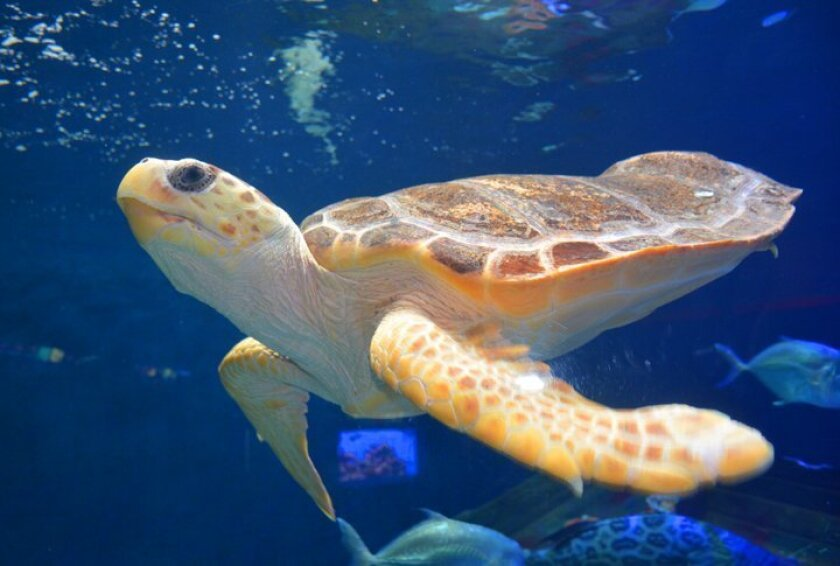 This Loggerhead Sea Turtle, aka Caretta caretta, was brought to Birch Aquarium at Scripps Institution of Oceanography in November 2014 after being rescued from a power plant cooling canal.