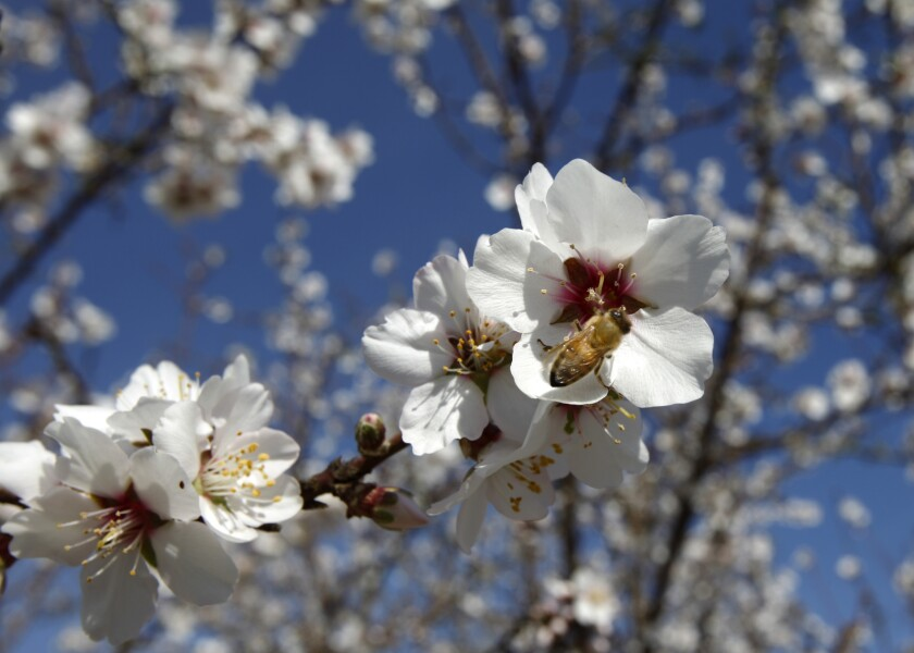 Bees are an integral part of California's nearly $3–billion–a–year almond industry. A honey bee pollinates a flowering almond tree in Lost Hills, Calif.